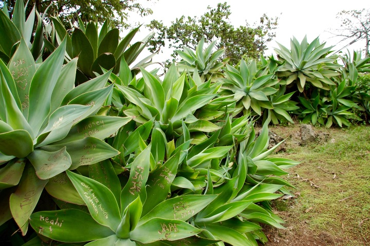 Plant life in Upcountry on Maui's Road to Hana: Sun Yat-Sen Park