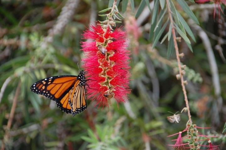 Monarch Butterflies in Maui: Monarch Tree at Sun Yat-Sen Park