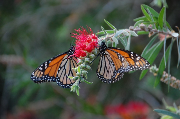Monarch Butterflies in Maui: Monarch Tree at Sun Yat-Sen Park