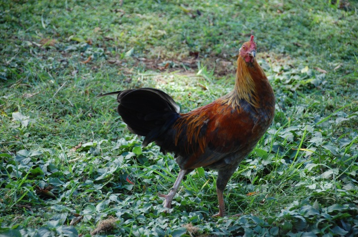 Upcountry chicken on Maui's Road to Hana: Sun Yat-Sen Park