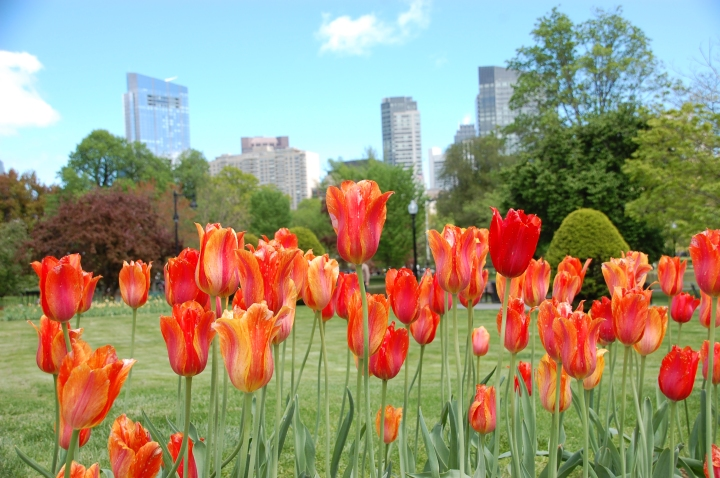 Things to do in Boston - Tulips at the Boston Public Garden